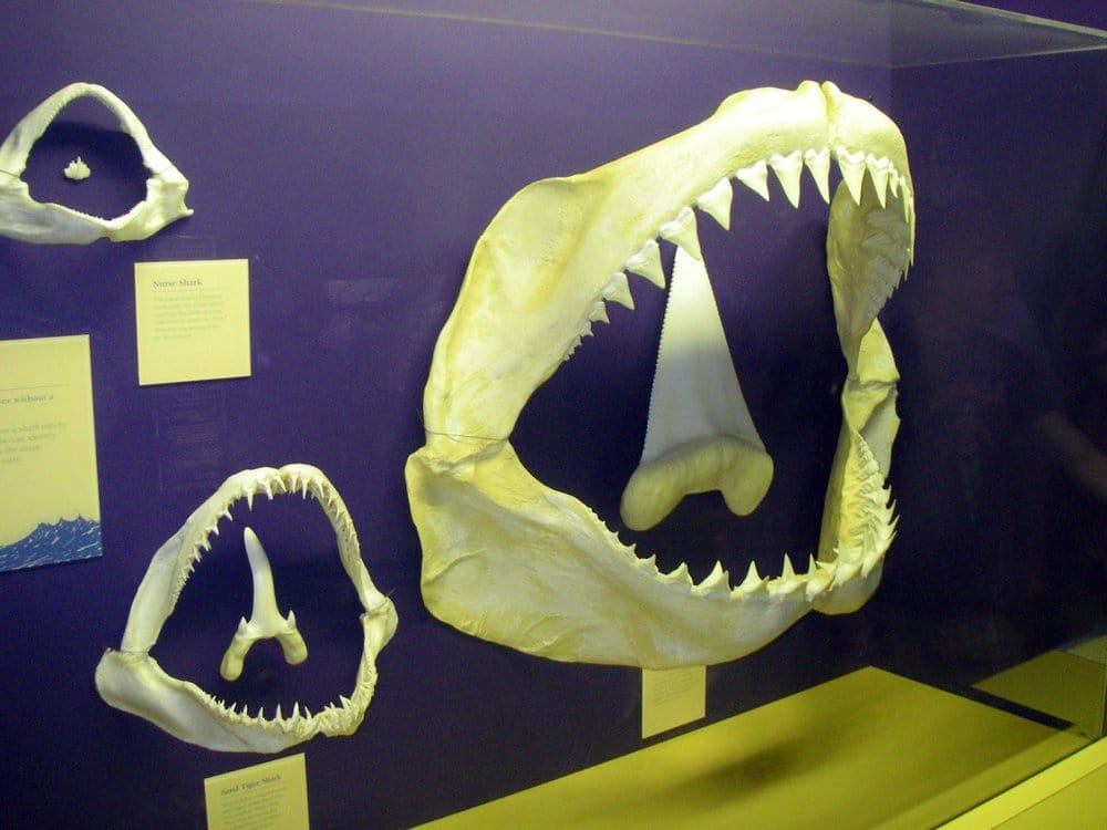 Great White Shark jaws...