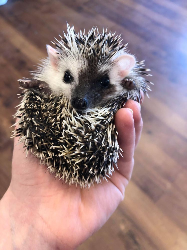 Granite State Hedgehogs: 406 Central St, Franklin, NH