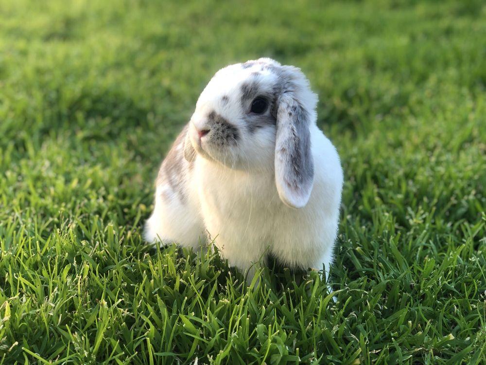 Nana's Rabbitry: Farmington, CA