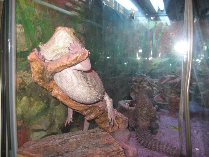 fat girl (bearded dragon)cap'n jack in the back eating the