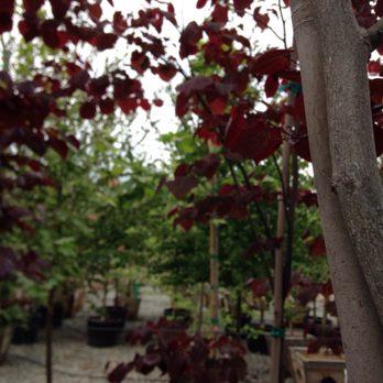 Photo Of Devil Mountain Whole Nursery San Ramon Ca United States Cercis