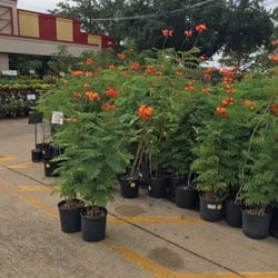 Photo Of Houston Garden Centers   Pasadena, TX, United States. Pride Of  Barbados