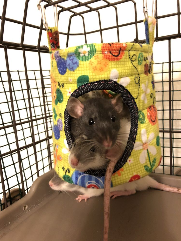 OC Dumbo Rats: 207 Lindo Ct, Kissimmee, FL