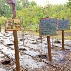 Photo Of Jonesville Persimmon And Fruit Plant Tree Nursery Newberry Fl United