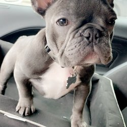 Austin French Bulldogs 37 Photos Pet Breeders Pflugerville Tx