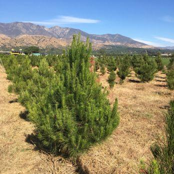 Photo of Santa Paula Christmas Tree Farms - Santa Paula, CA, United States - Santa Paula Christmas Tree Farms - Christmas Trees - 18540 E