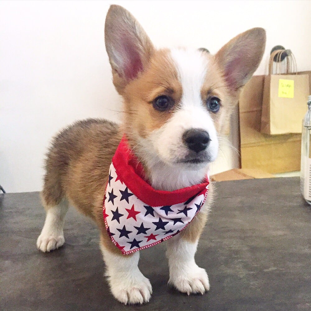 Nuggets The Corgi Puppy Modeling His New In House Made Bandana Yelp