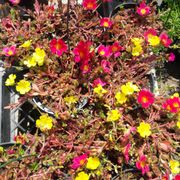 Photo Of P C Nursery Corona Ca United States Portulacav1 Gallon