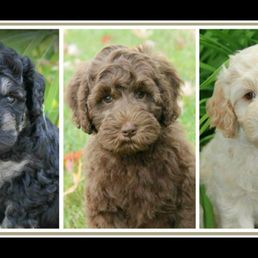 Bull Valley Australian Labradoodles - Request a Quote - Pet