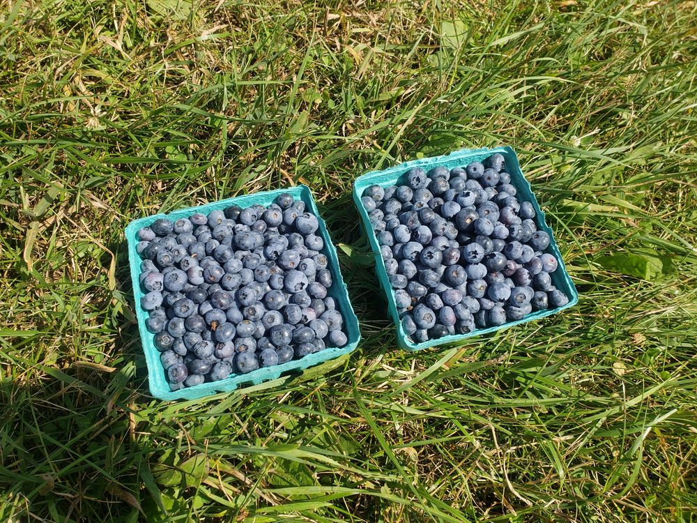 Peppers Blueberry Hill Farm: 3290 Bear Creek Rd, Franklinville, NY