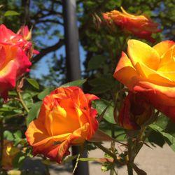 Sunday Afternoon Walk In Owen Park >> Owen Rose Garden 114 Photos 22 Reviews Parks 300 N Jefferson
