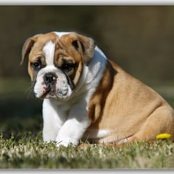 cheap english bulldog puppies cheap english bulldog puppies pet stores dayton oh yelp 4891