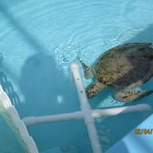 Photo Of Loggerhead Marinelife Center Juno Beach Fl United States Recovering Turtle