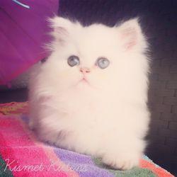 Kismet Kittens - 18 Photos - Pet Stores - 123 W Bloomingdale