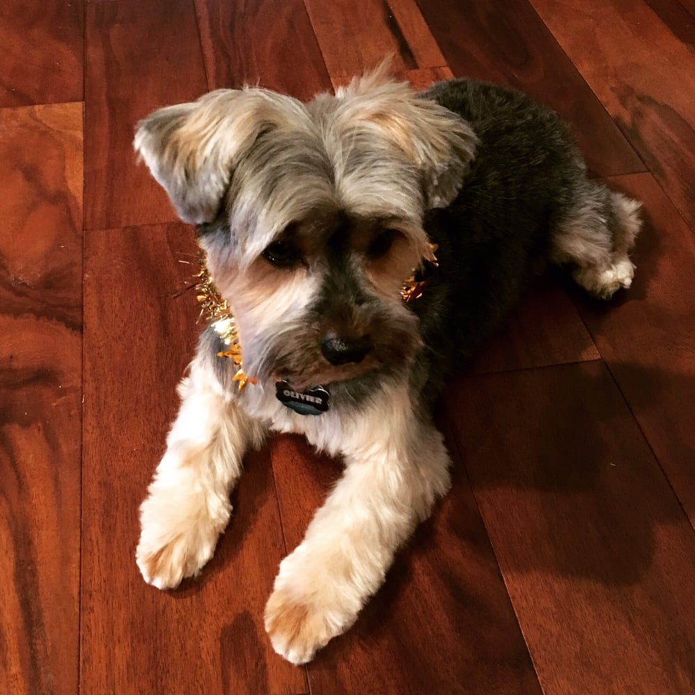 My 8 Yo Yorkie Showing Of His Schnauzer Cut Best Haircut Ever