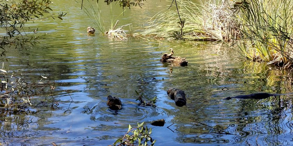 Photo of Franklin Canyon Park - Beverly Hills, CA, United States. Ducks  and Turtles
