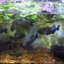 Piranhas Yap Yap Yap