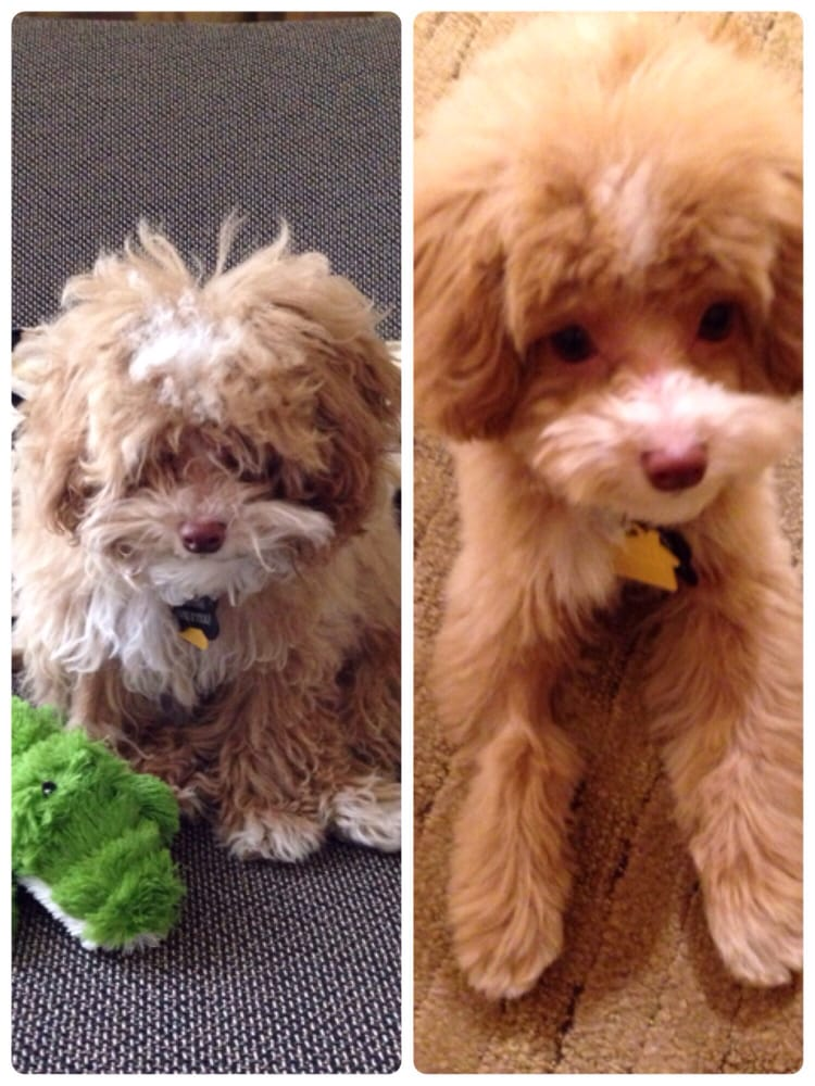 Toy Poodle Before And After Grooming Hes So Beautiful That