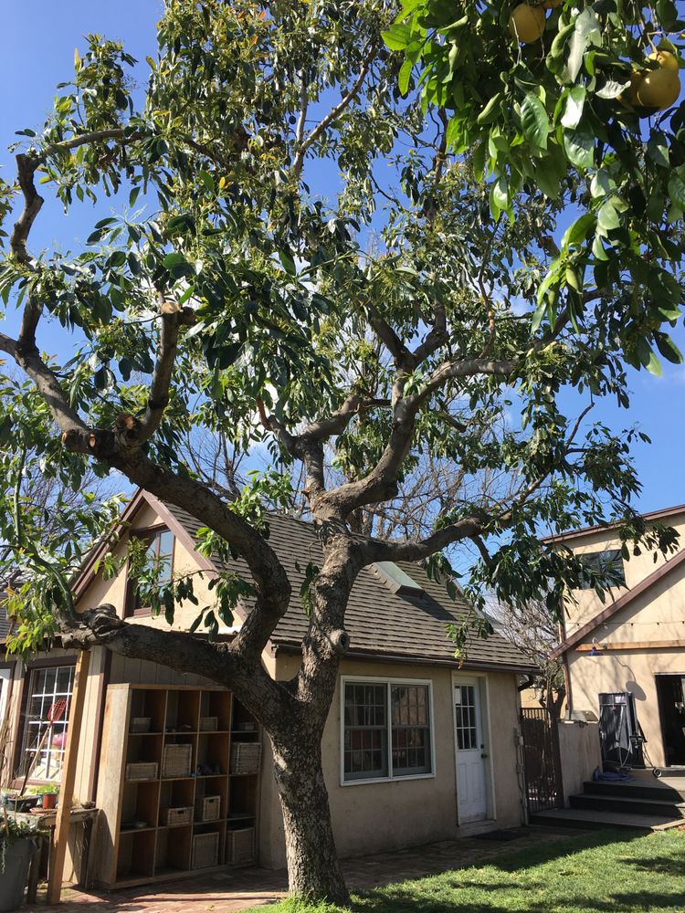 trimmed avocado tree - Yelp