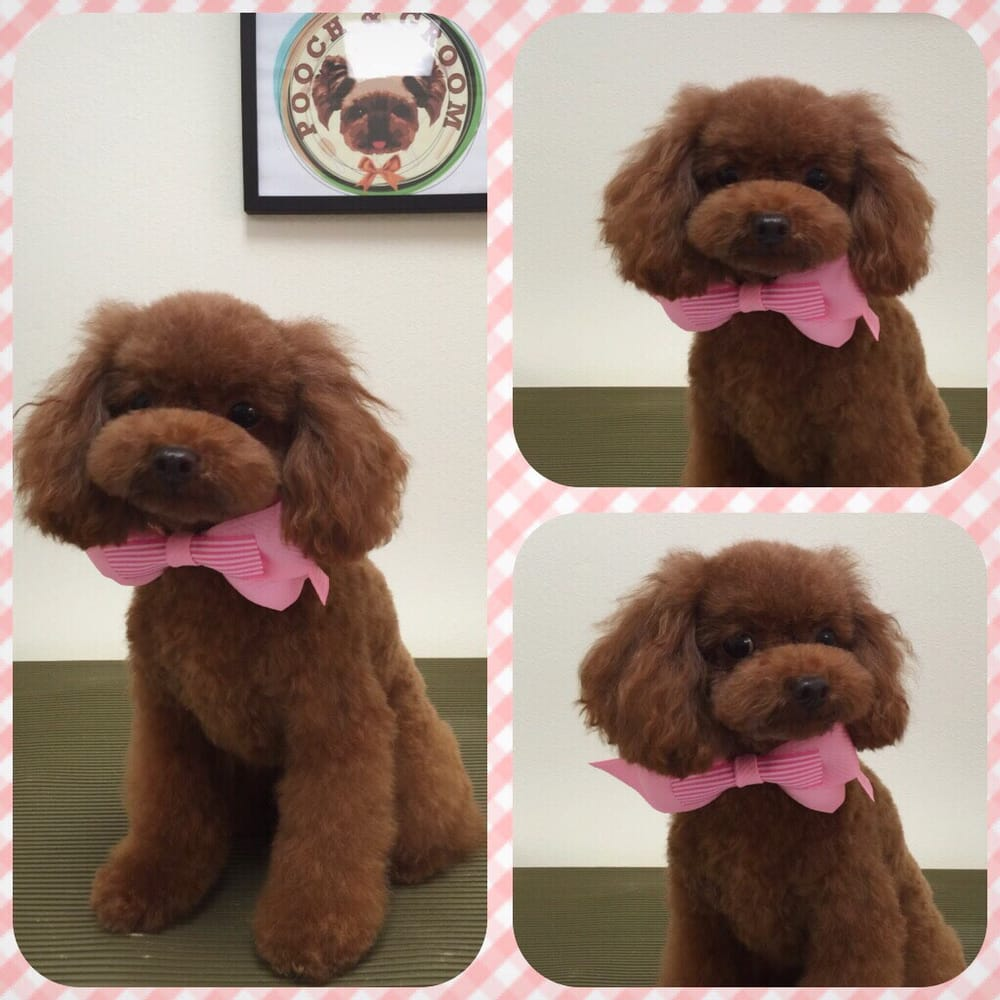 Coco, the red poodle  Japanese style scissor cut, hydrating