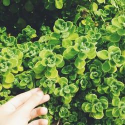 Photo Of Sunny Hill Greenhouses Nursery Canon Ga United States Cuban