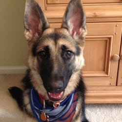 Image Result For Rocky Mountain German Shepherds Conifer Co