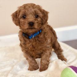 Mini Doodle Dogs - 50 Photos - Pet Breeders - Clinton, UT