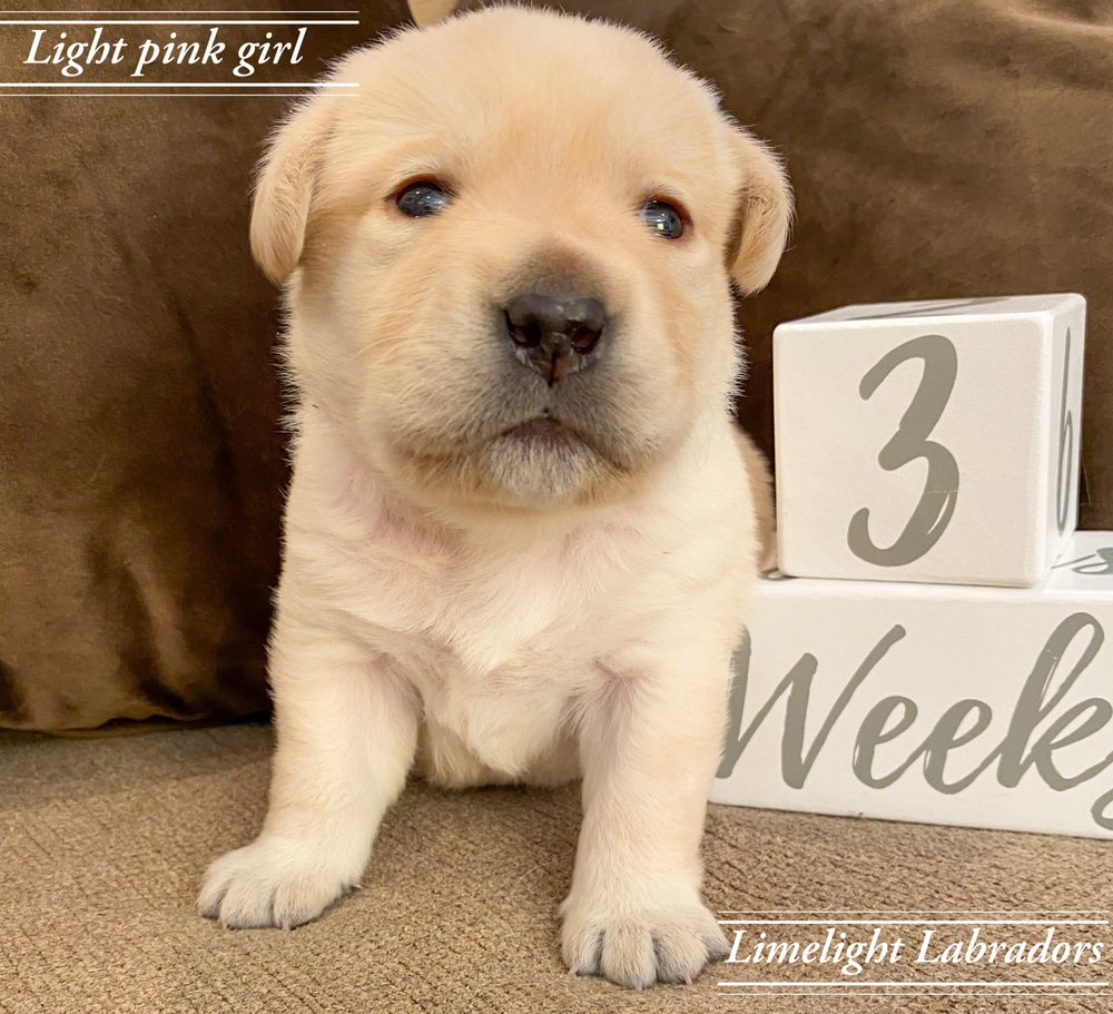 Limelight Labradors: Marengo, IL