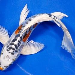 Okanagan koi water gardens pet stores 1605 garner for Koi fish pond kelowna