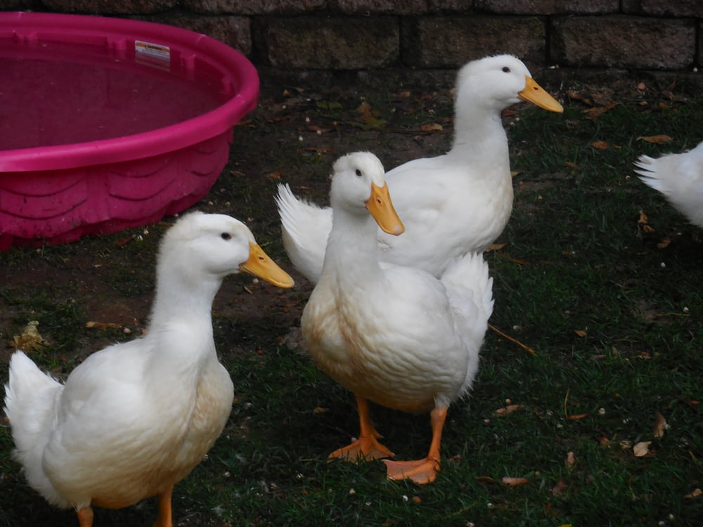 Jumbo Pekin Ducks From Murray Mcmurray Hatchery 6 Weeks