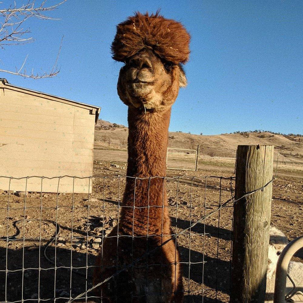 Adorable alpaca: 24815 Cummings Valley Rd, Tehachapi, CA