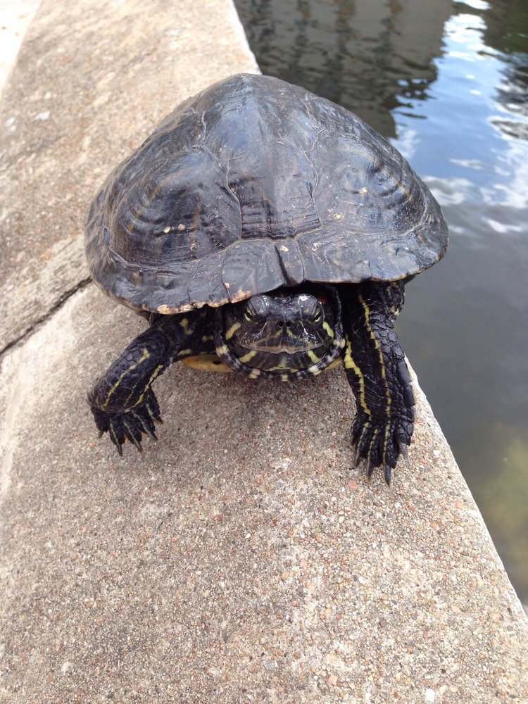 Texas River Cooter Yelp
