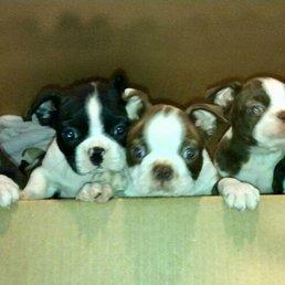 Normandy Boston Terriers Pet Breeders Hollywood Fl Phone