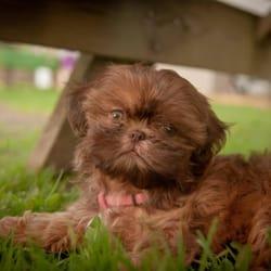 Bbs Imperial Shih Tzus Pet Stores 4941 Rosecroft St Virginia