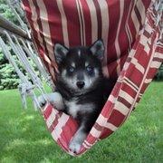 Souththern Minnesota Pomskies - 10 Photos - Pet Breeders