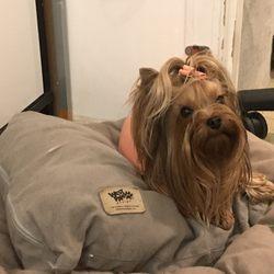 Spoild Rotten Pomeranians And Yorkshire Terriers Pet Breeders