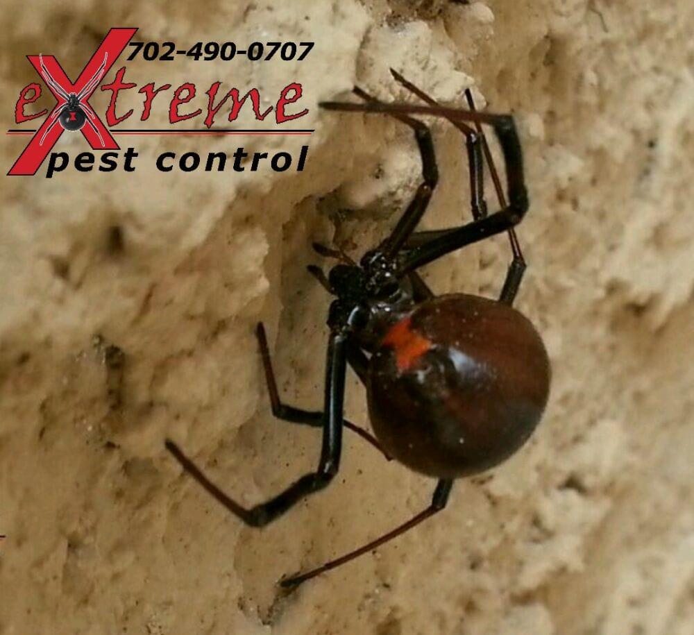 Black Widow Spider Yelp