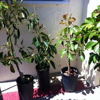 Photo Of Atkins Nursery Fallbrook Ca United States Rare Avocados Varieties