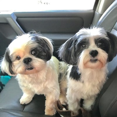 Shih Tzu And Precious Paws Rescue Animal Shelters 1111