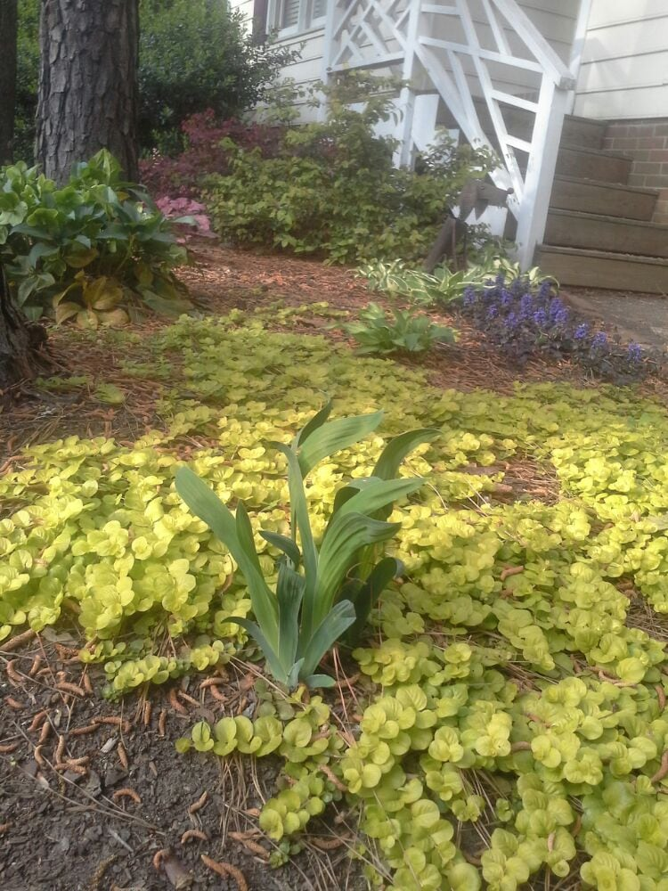 Superieur Creeping Jenny, Blackberry Lily, Ajuga, Hellebores, Heuchera ...