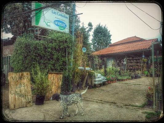 Vivero las camelias viveros y jardiner a av antupiren for Viveros en santiago