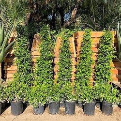 Photo Of Topanga Nursery Chatsworth Ca United States Building A Hedge