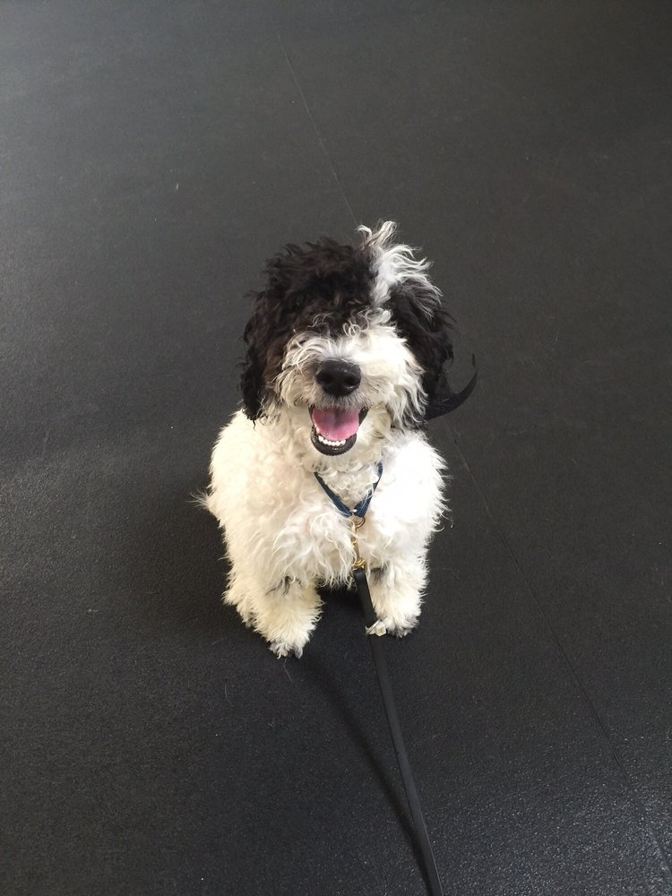 Scheduling 25 lb, 5 month old Winston - my mini Sheepadoodle for his