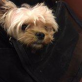 Yoli's Yorkies - Pet Breeders - Brentwood, CA - Phone Number - Yelp