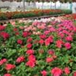 Photo Of Wayside Garden Center   Macedon, NY, United States. Annuals And  Greenhouse