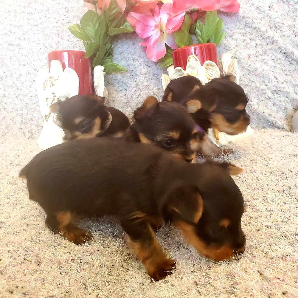 Valness Yorkies: Clear Spring, MD