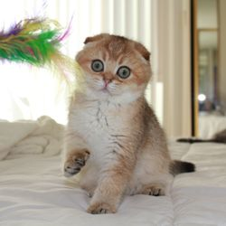 Scottish Fold Kittens - 108 Photos - Pet Stores - 8984 Norma
