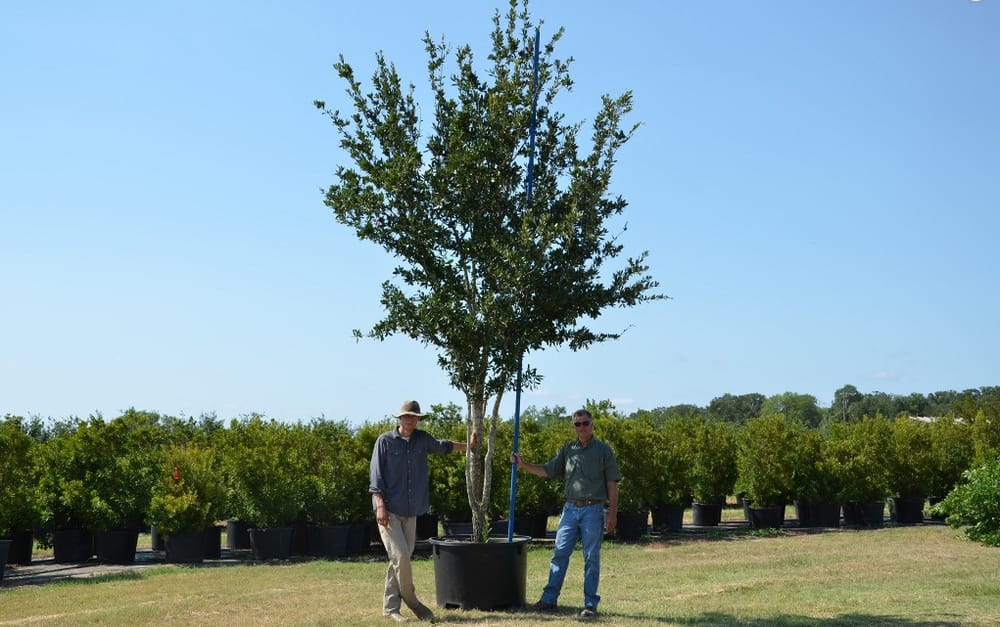 95 Gallon Live Oak Large Trees Look Good In Any