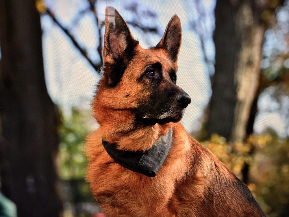 Mittelwest German Shepherds: 8310 Howe Rd, Wonder Lake, IL