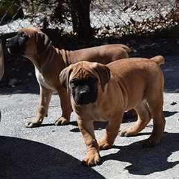 Exotic Boerboels - University, Cleveland, OH - 2019 All You